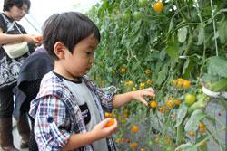 トマトの収穫