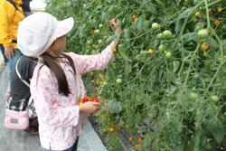 トマトの収穫2